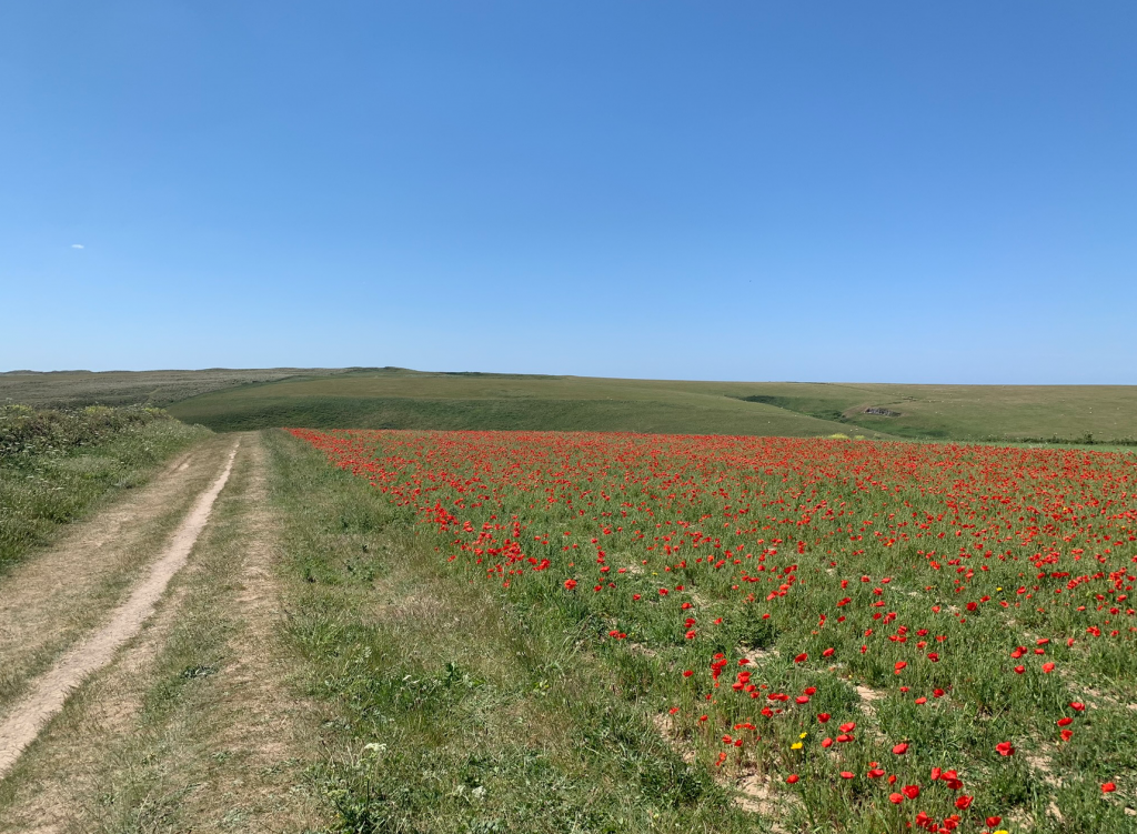 Blue sky and stretching field with poppies
