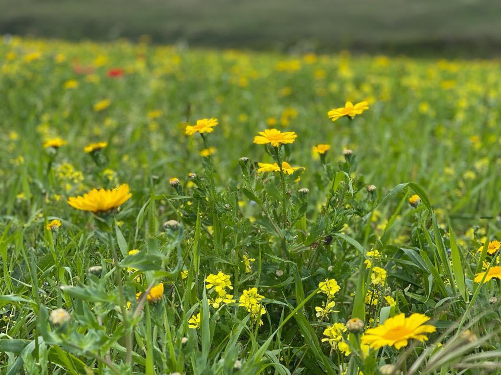Corn Marigolds in a field