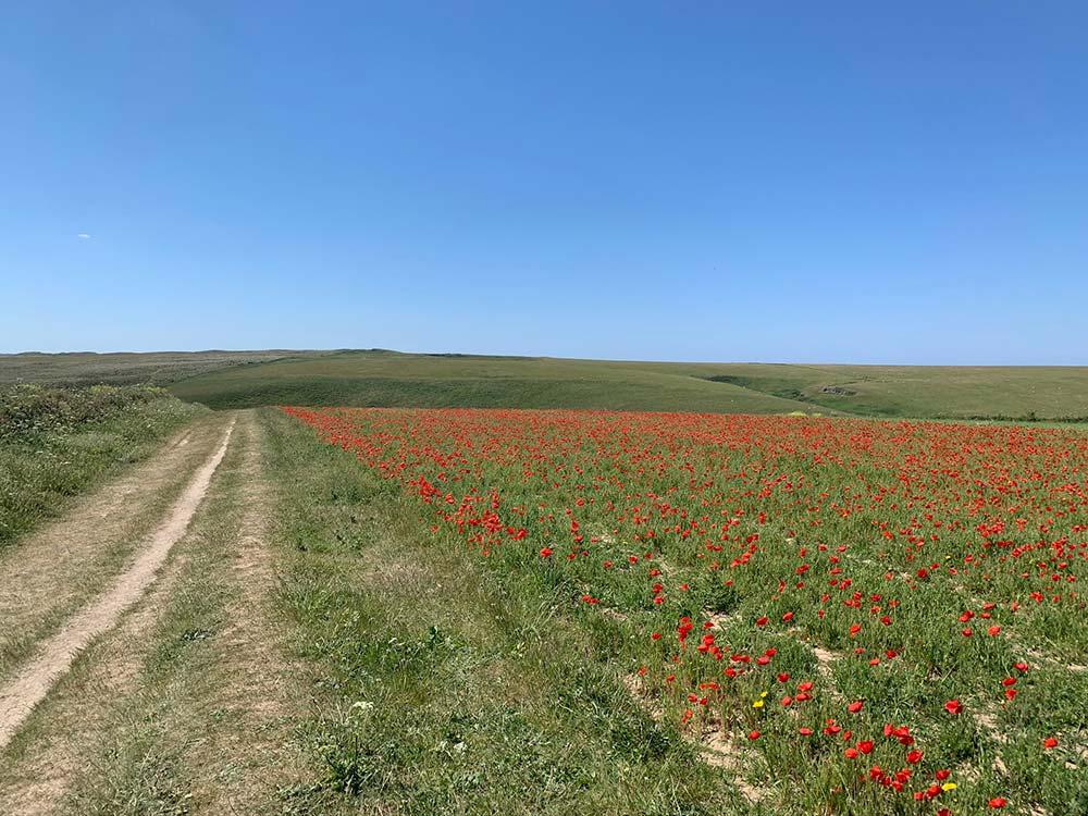Poppies on West Pentire headland