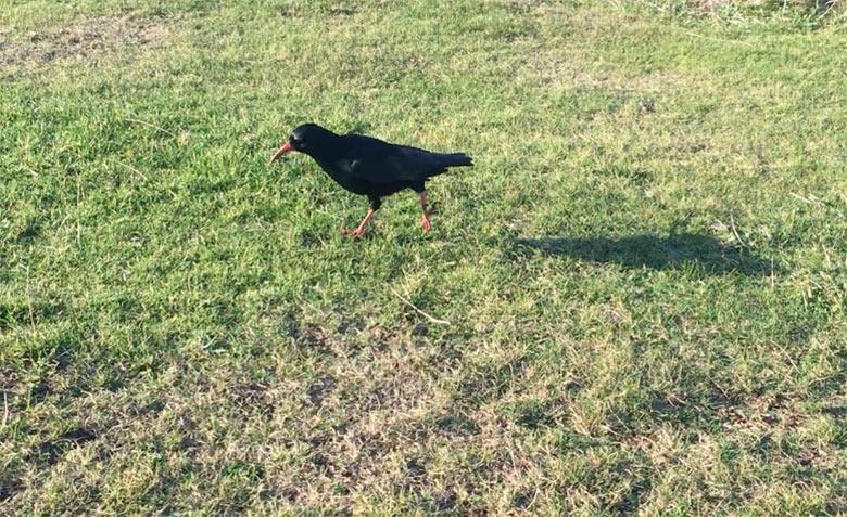 Cornish Chough walking along the ground