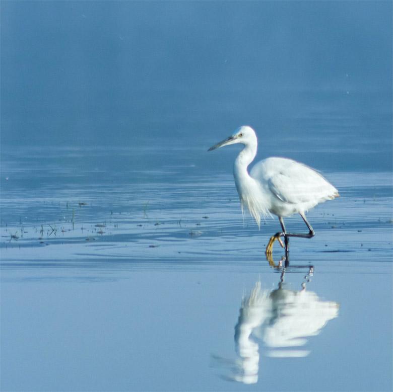Little Egret wading through water