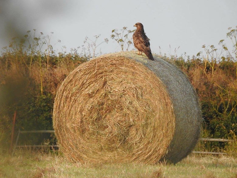 Buzzard sitting on a hay bale early morning