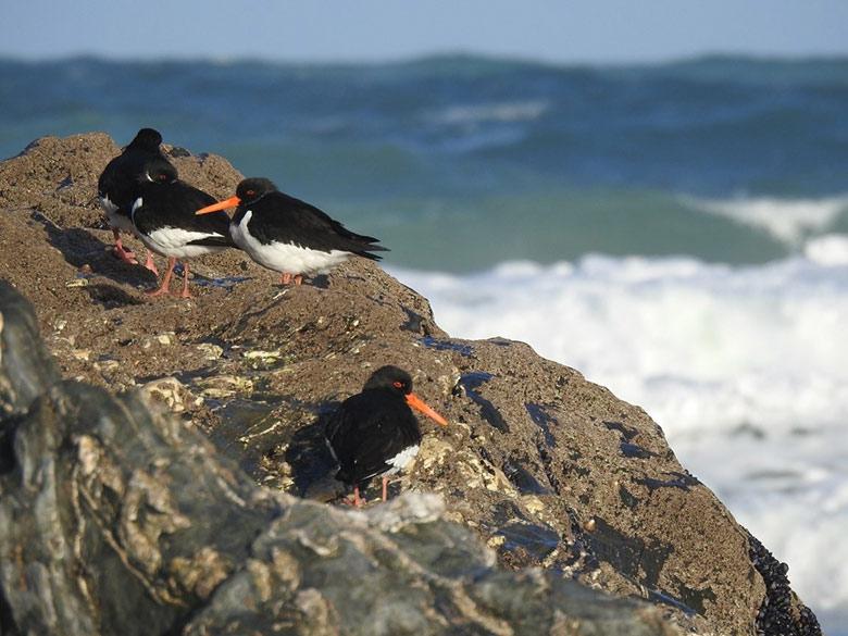 Oystercatchers perched on rocks
